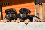 05_Puppies_JV_Yunke_BARNI_BARSIK