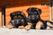 06_Puppies_JV_Yunke_BARNI_BARSIK
