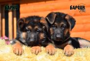 07_Puppies_JV_Yunke_BARNI_BARSIK