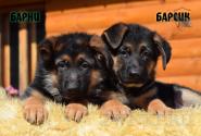 08_Puppies_JV_Yunke_BARNI_BARSIK
