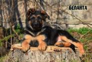 10_Puppies_JV_Yunke_BELANTA