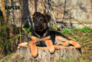 11_Puppies_JV_Yunke_BARSIK