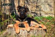 12_Puppies_JV_Yunke_BARSIK