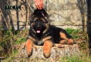 15_Puppies_JV_Yunke_BASMACH_LH