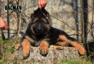 16_Puppies_JV_Yunke_BASMACH_LH