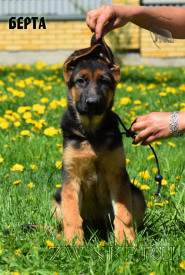 18_Puppies_JV_Yunke_BERTA