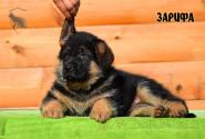 11_Puppies_Ux_Ichi_ZARIFA