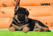 12_Puppies_Ux_Ichi_ZARIFA