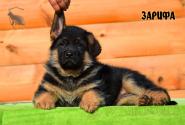 13_Puppies_Ux_Ichi_ZARIFA