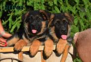 15_Puppies_Ux_Ichi_Girls