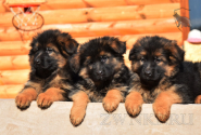 04_Puppies_Ux_Barrakuda
