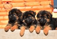 04_Puppies_Ux_Barrakuda