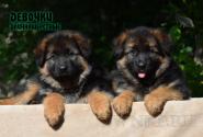 16_Puppies_Mac_Yolka_Girls_LH
