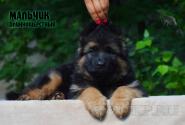18_Puppies_Mac_Yolka_Boy_LH