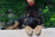 19_Puppies_Mac_Yolka_Boy_LH