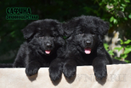 20_Puppies_Uragan_Avantura_SAFINA_LH