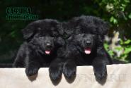 20_Puppies_Uragan_Avantura_SAFINA_LH