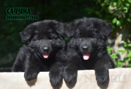 21_Puppies_Uragan_Avantura_SAFINA_LH