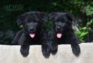 23_Puppies_Uragan_Avantura_SAMANTA