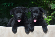 23_Puppies_Uragan_Avantura_SAMANTA