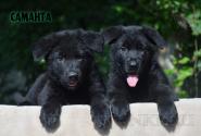 25_Puppies_Uragan_Avantura_SAMANTA