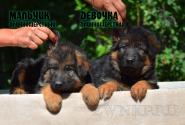 06_Puppies_Yamaguchi_Tsilma_Boy_Girl_LH