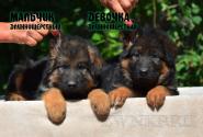 07_Puppies_Yamaguchi_Tsilma_Boy_Girl_LH