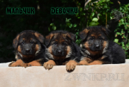 10_Puppies_Yamaguchi_Tsilma_Boy_Girls