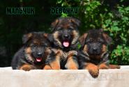 11_Puppies_Yamaguchi_Tsilma_Boy_Girls