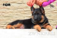12_Puppies_Yamaguchi_Tsilma_RADZH