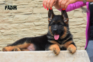 14_Puppies_Yamaguchi_Tsilma_RADZH