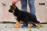 15_Puppies_Yamaguchi_Tsilma_RADZH