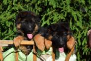 04_Puppies_Umaro_Indiya
