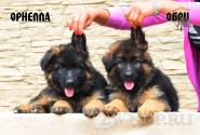 12_Puppies_Umaro_Kaora_ORNELLA_OBRI