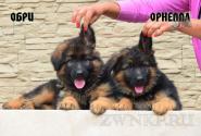 13_Puppies_Umaro_Kaora_OBRI_ORNELLA