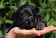 18_Puppies_Ekaraj_Tigris_ULTMAN