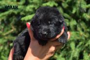 19_Puppies_Ekaraj_Tigris_ULKAN