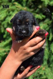 20_Puppies_Ekaraj_Tigris_UAN