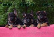27_Puppies_Ekaraj_Tigris_ULKANA_ULTRA-SI_UMBRA