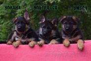 28_Puppies_Ekaraj_Tigris_ULKANA_ULTRA-SI_UMBRA