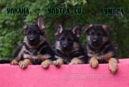 29_Puppies_Ekaraj_Tigris_ULKANA_ULTRA-SI_UMBRA