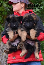 30_Puppies_Ekaraj_Tigris_ULTMAN_LH