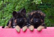 33_Puppies_Ekaraj_Tigris_ULTMAN_LH
