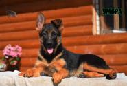 34_Puppies_Ekaraj_Tigris_UMBRA