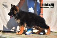 43_Puppies_Ekaraj_Tigris_ULTMAN_LH