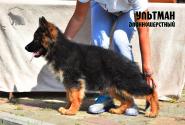 44_Puppies_Ekaraj_Tigris_ULTMAN_LH