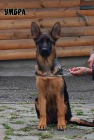 47_Puppies_Ekaraj_Tigris_UMBRA