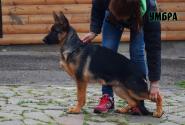 48_Puppies_Ekaraj_Tigris_UMBRA