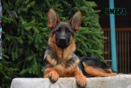 50_Puppies_Ekaraj_Tigris_UMBRA