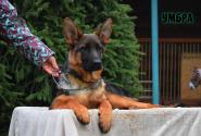 51_Puppies_Ekaraj_Tigris_UMBRA